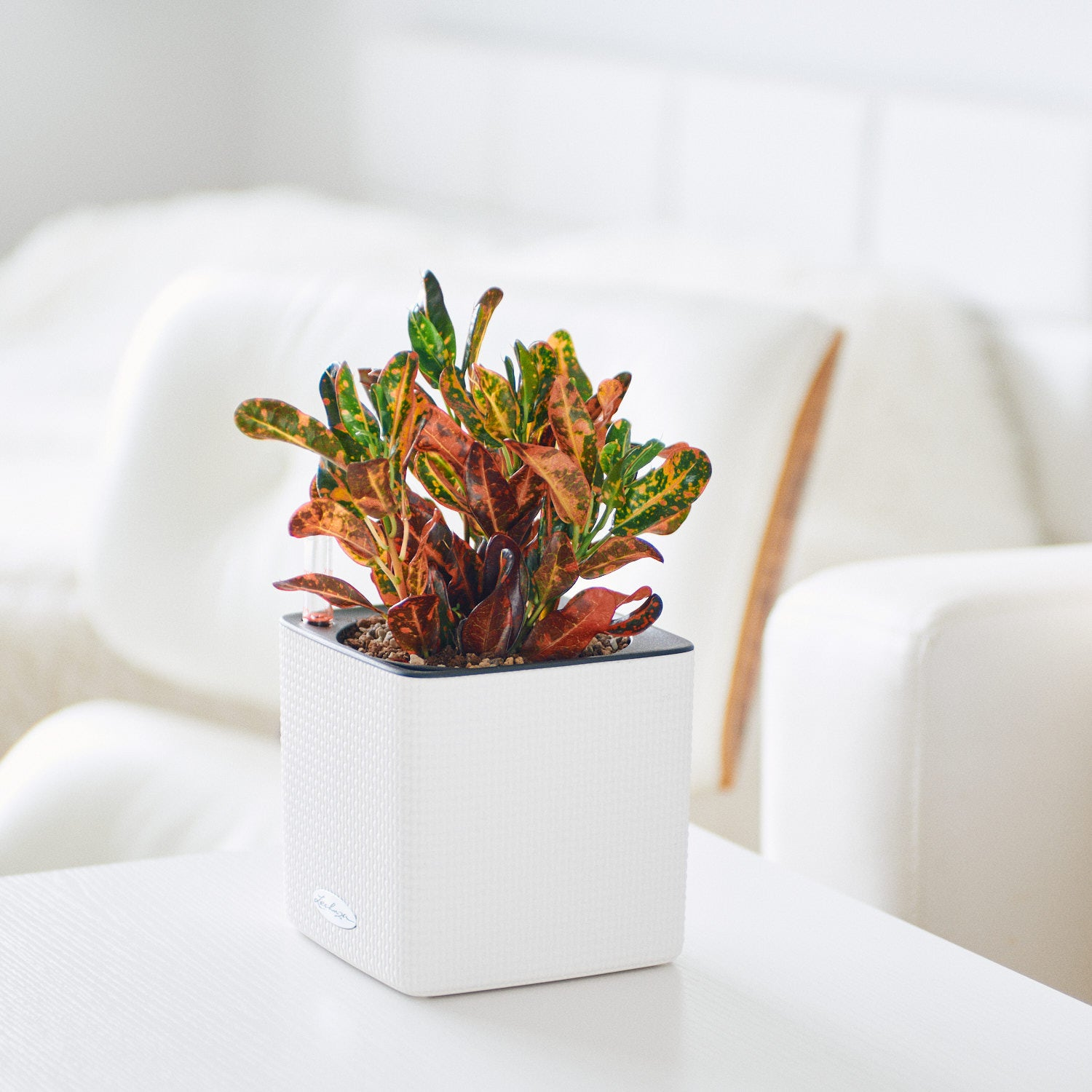 Croton Mammy Red Plant Potted In Lechuza Cube 14 White Planter | My City Plants