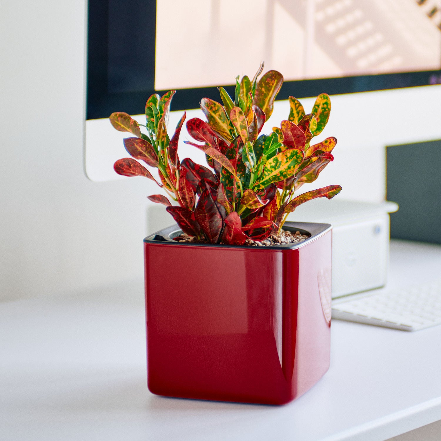 Croton Plant In Lechuza Cube Glossy Red Planter | My City Plants