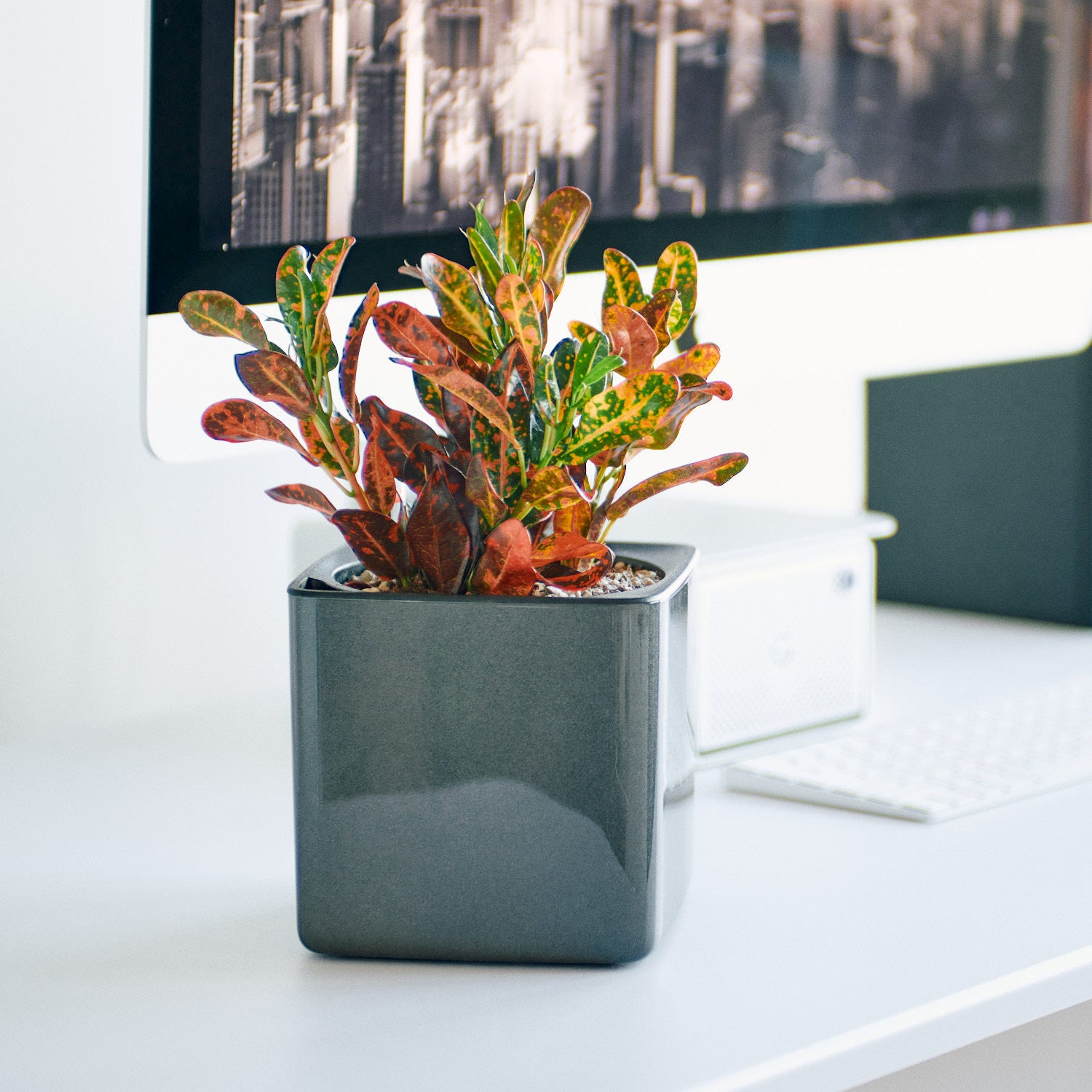 Croton Plant In Lechuza Cube Glossy Charcoal Planter | My City Plants