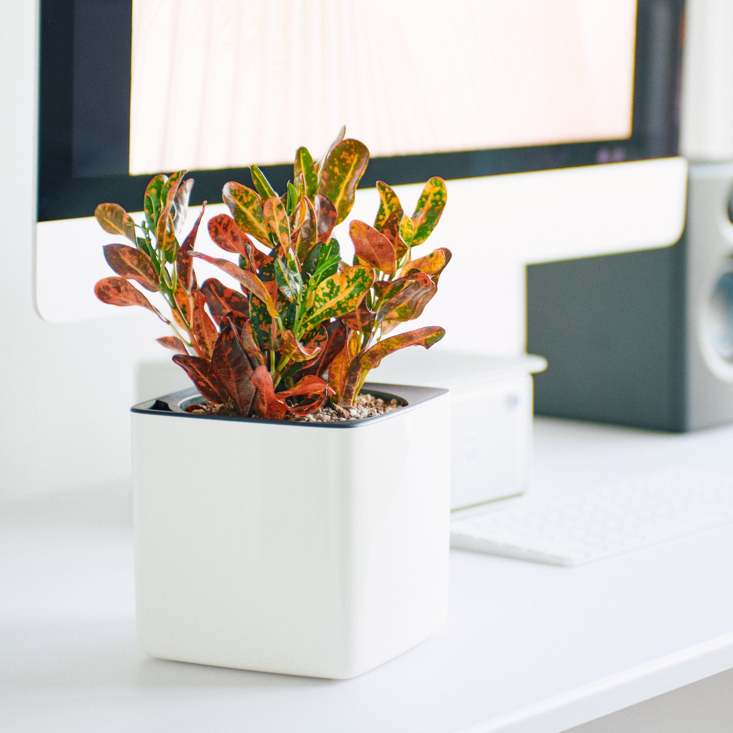 Croton Plant In Lechuza Cube Glossy White Planter | My City Plants