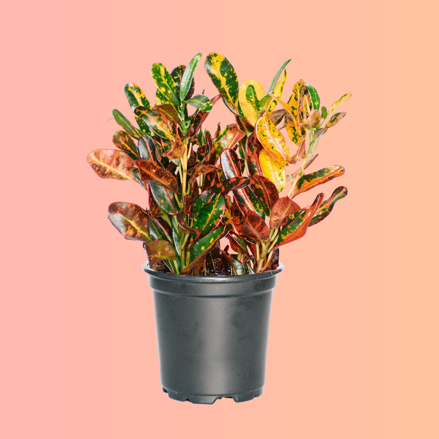 "Croton Mammy Red In 4"" Nursery Pot 
