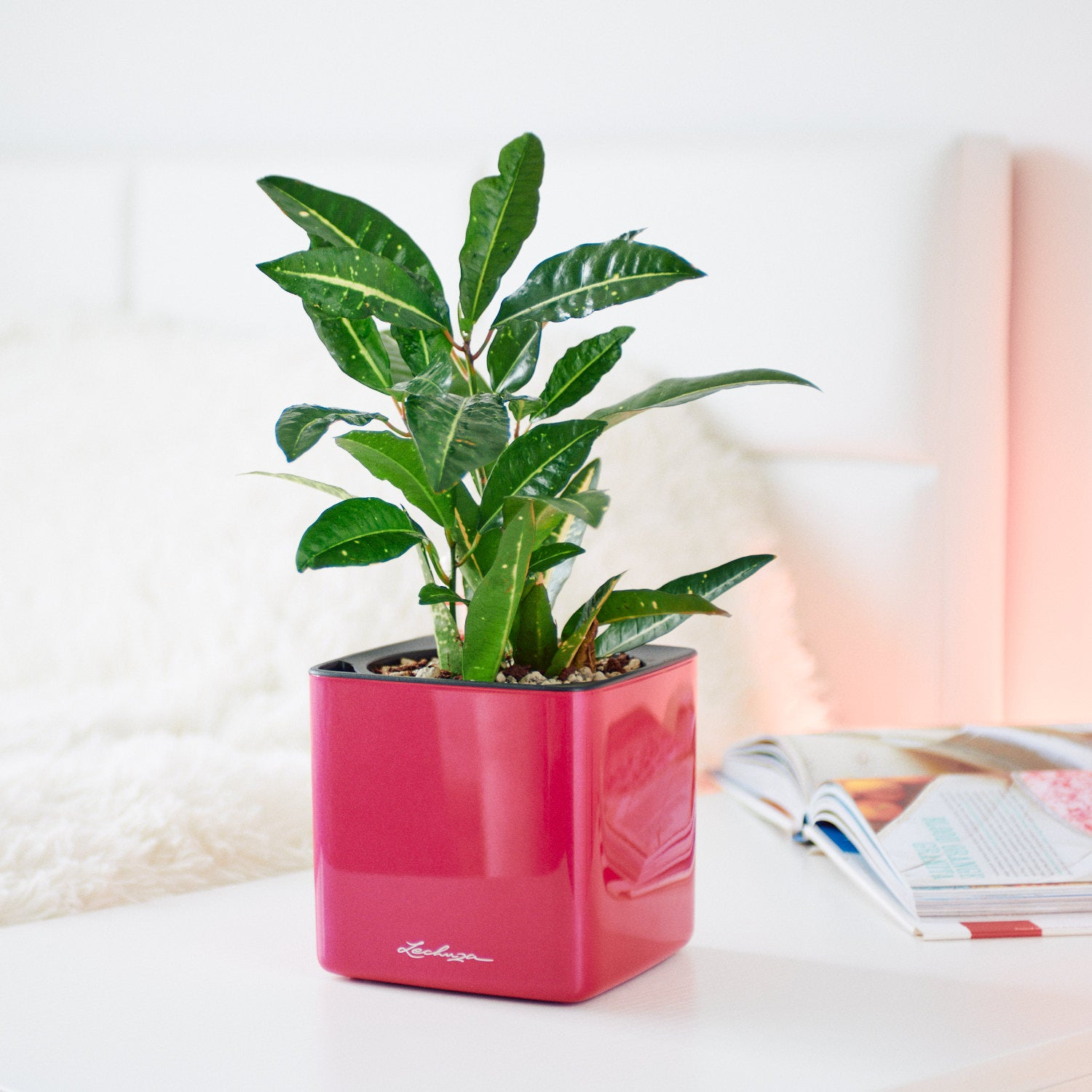 Croton Sunny Star In Lechuza Cube Cherry Pie Planter | My City Plants