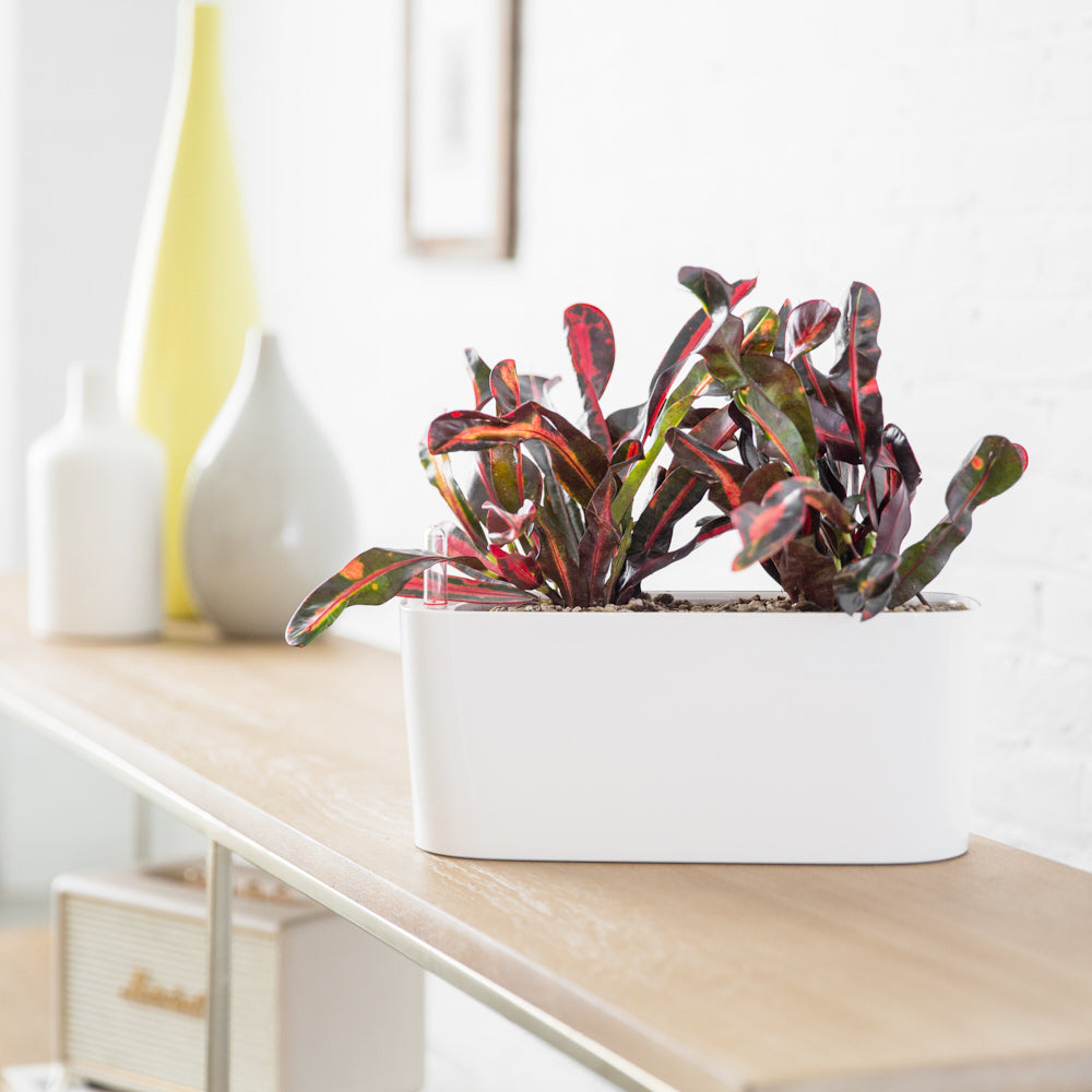 Croton plant potted in Lechuza windowsill mini white planter - Shop Online - My City Plants