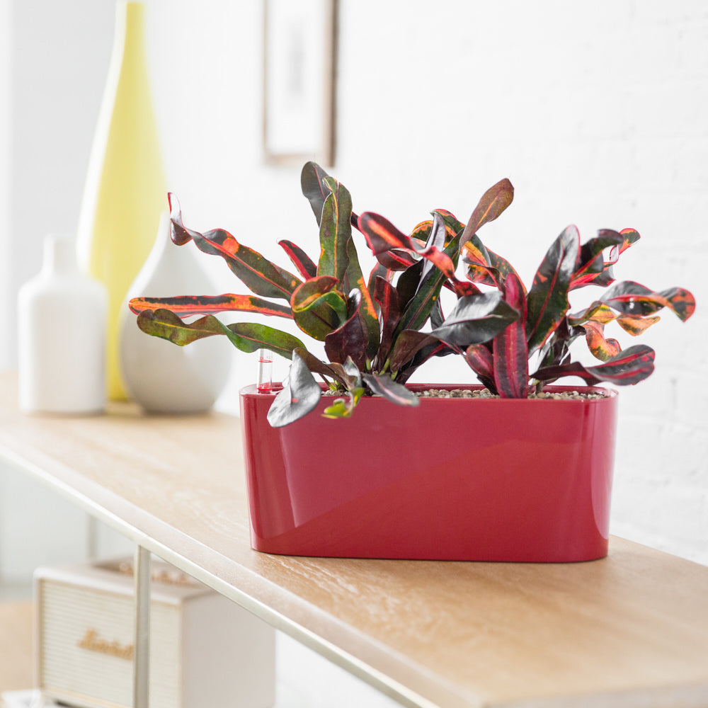 Croton Plant Potted In Lechuza Windowsill Red Planter - Shop Online - My City Plants
