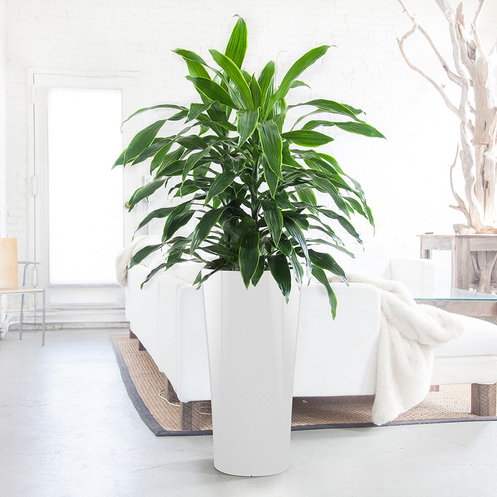 Dracaena Art in Delta planter - Shop Online - My City Plants