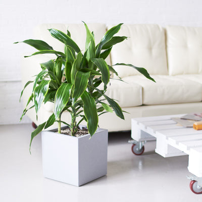 Dracaena Art plant potted in Lechuza Canto Cube planter - My City Plants