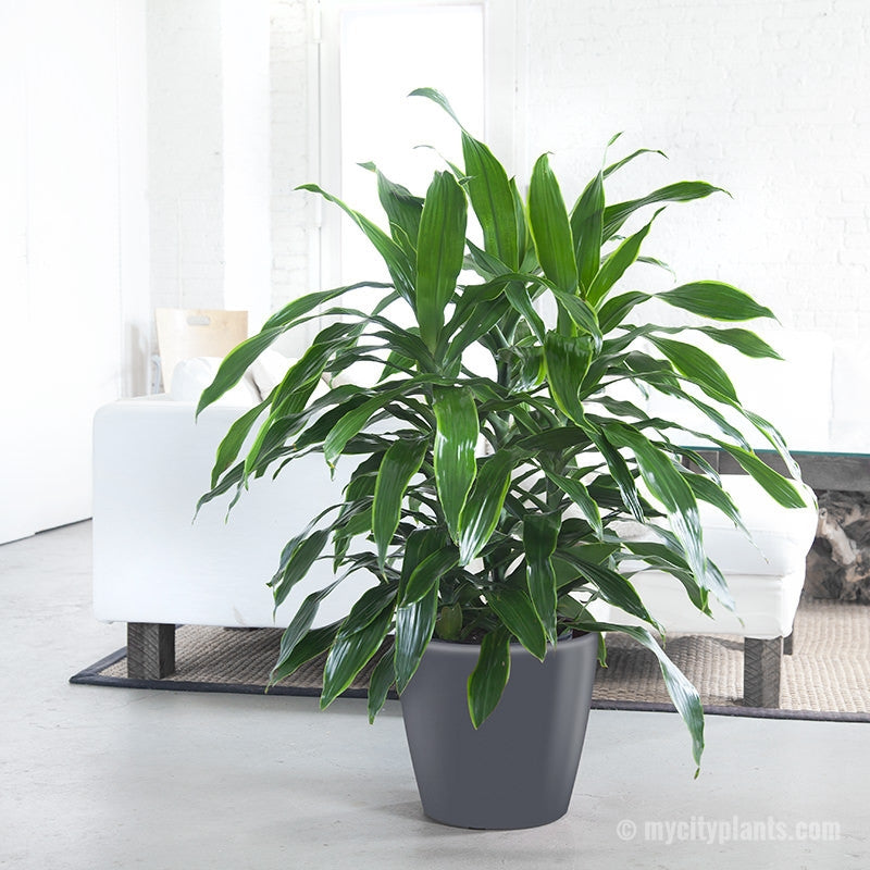 "Dracaena Art - Dracaena Art Classico 14"" - My City Plants"