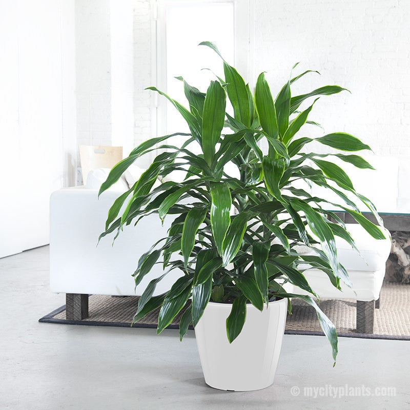 dracaena art plant potted in 14 classico planter. Black Bedroom Furniture Sets. Home Design Ideas