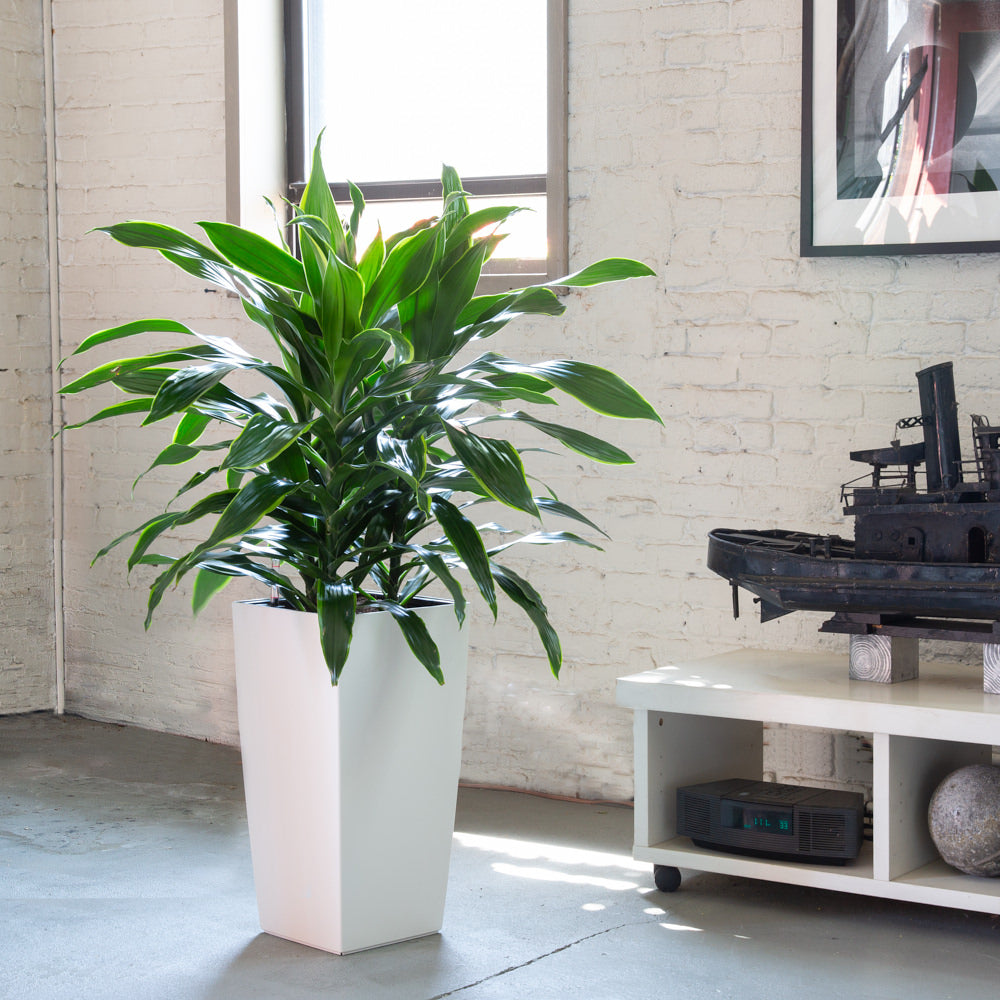 Dracaena Art potted in Cubico white planter - My City Plants