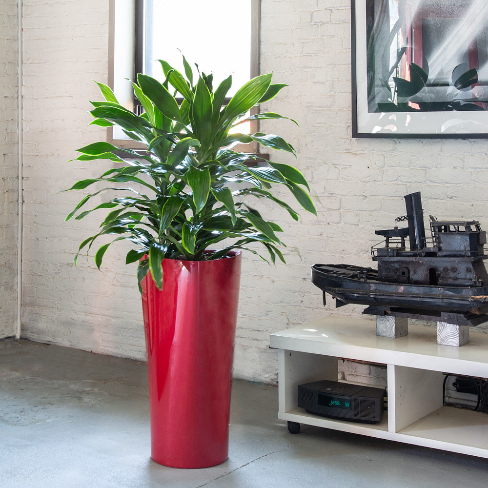Dracaena Art plant potted in Lechuza Delta red planter - My City Plants