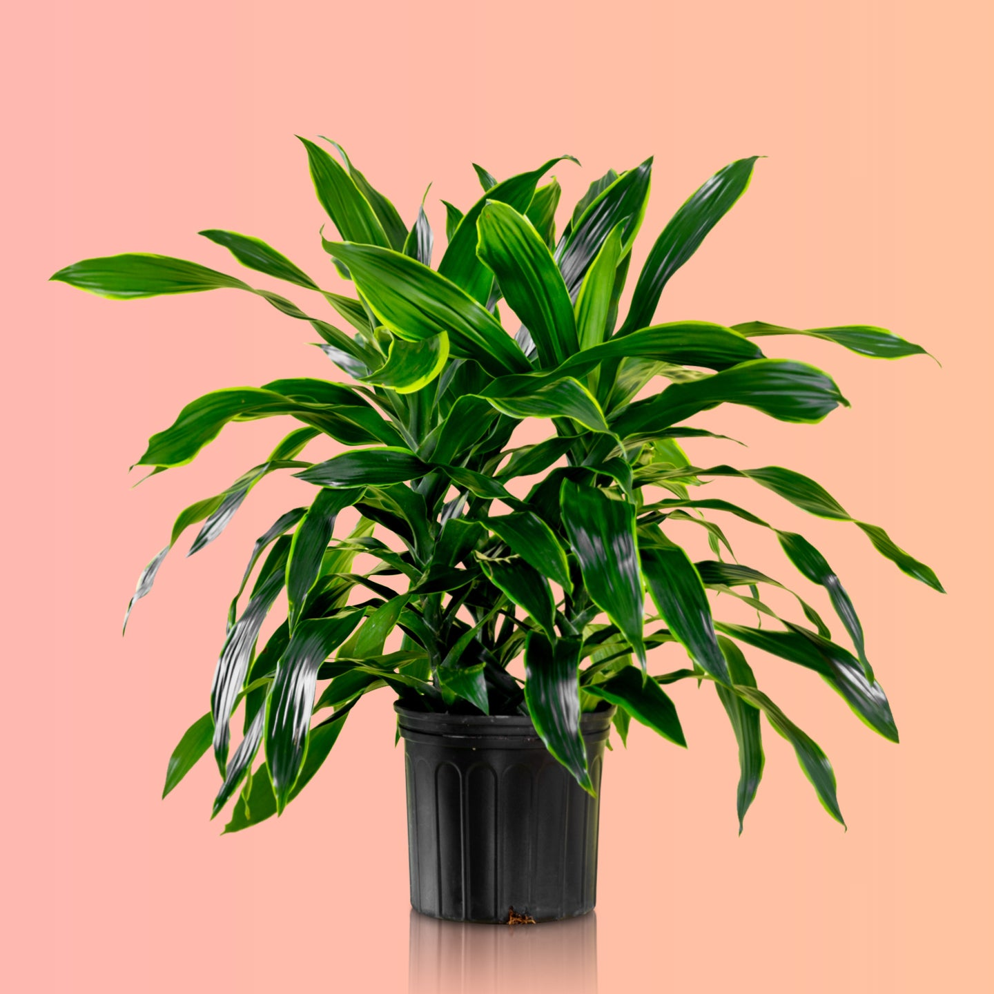 "Dracaena Art In 10"" Nursery Pot - Shop Online - My City Plants"