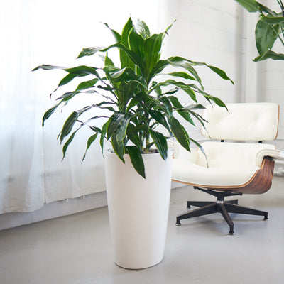 Dracaena Art plant potted in Rondo white planter - My City Plants