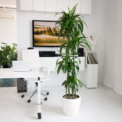 "Dracaena Lisa in 14"" Classico white planter"