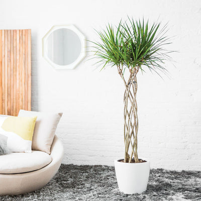 Dracaena Marginata Potted In Lechuza Classico White Planter - My City Plants