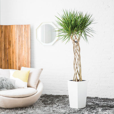 Dracaena Marginata Potted In Lechuza Cubico White Planter - My City Plants