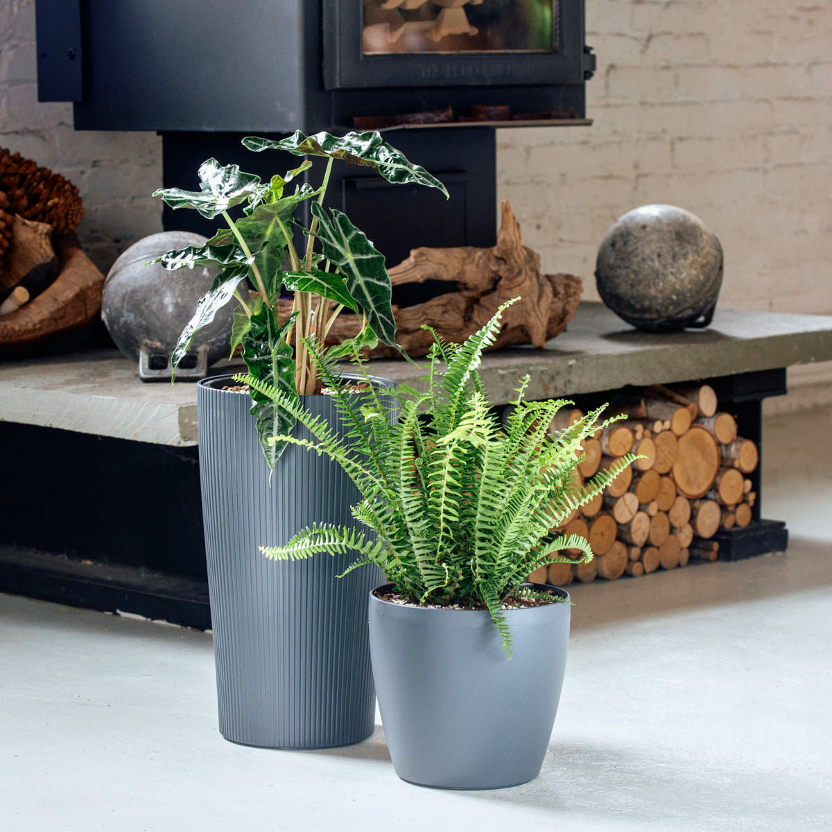 Dumbo plant bundle in Lechuza self-watering planters - My City Plants