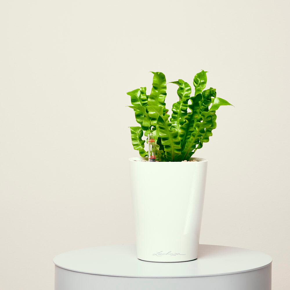 Fern Quot Crispy Wave Quot Potted In Deltini White Planter My