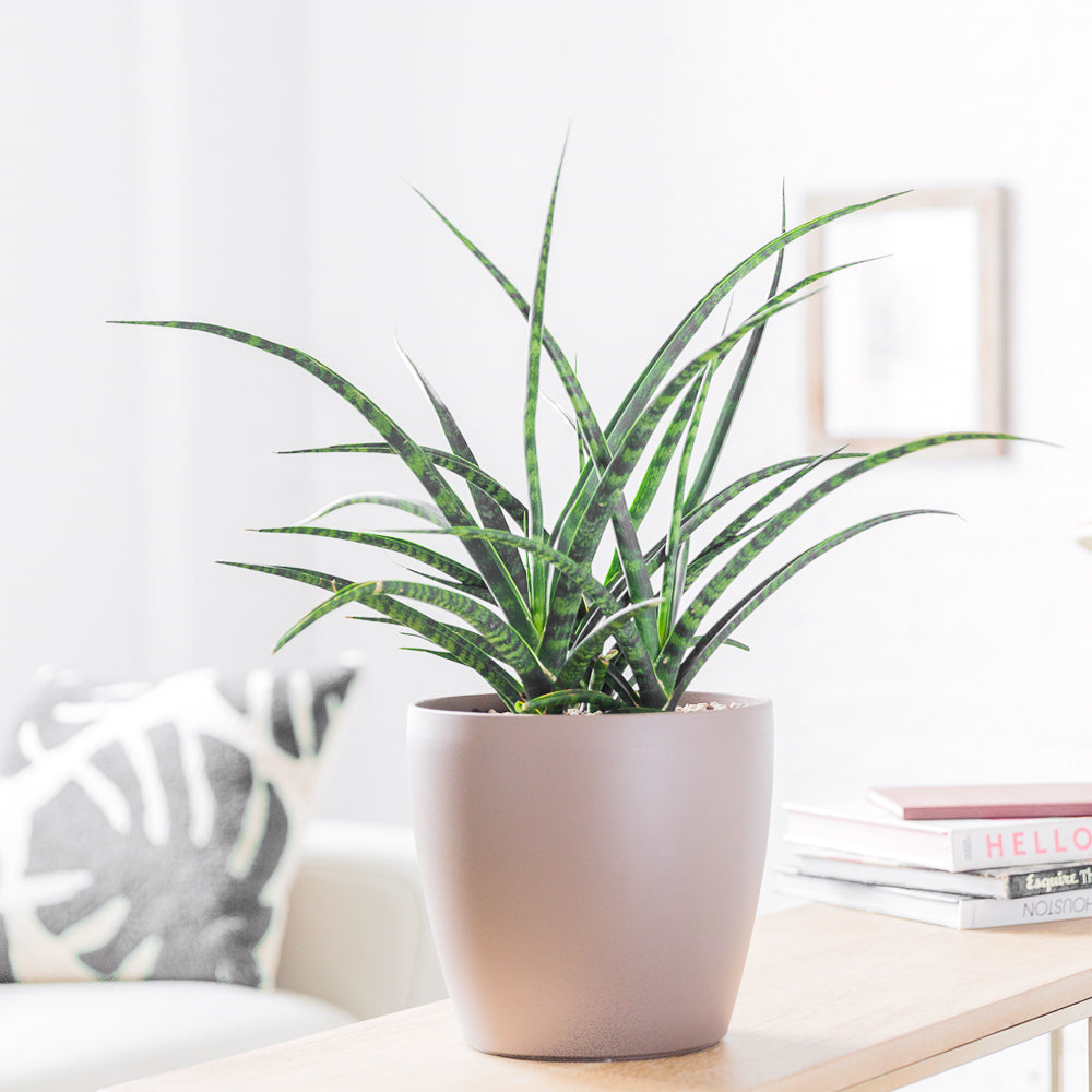 Sansevieria Fernwood Punk In Classico Trend Nutmeg Planter - Shop Online - My City Plants