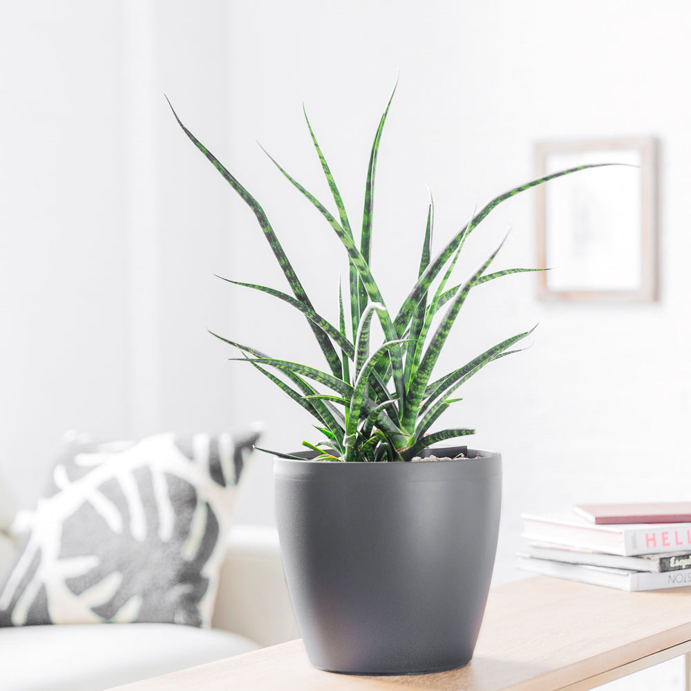 Sansevieria Fernwood Punk In Classico Slate Planter - Shop Online - My City Plants