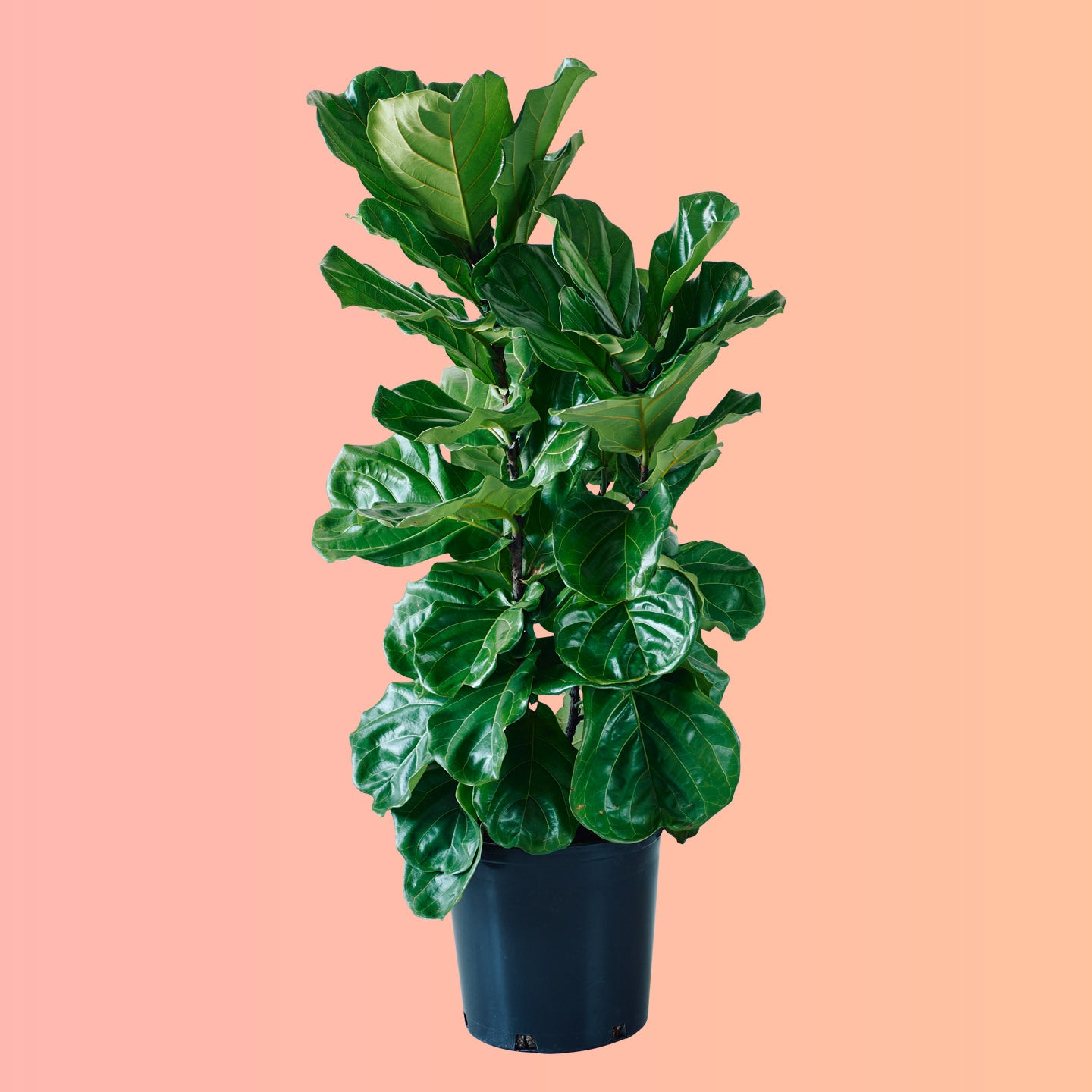 "Fiddle Leaf Fig Bush In 14"" Nursery Pot - Delivery NYC"