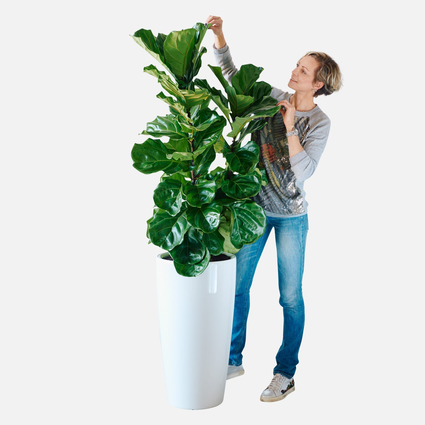 Fiddle Leaf Fig Bush In Lechuza Rondo 40 White Planter My City Plants