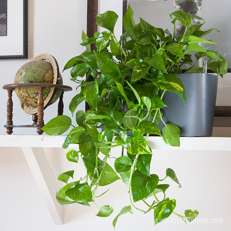 Cascading Pothos Plant Potted In Lechuza charcoal metallic Windowsill - My City Plants