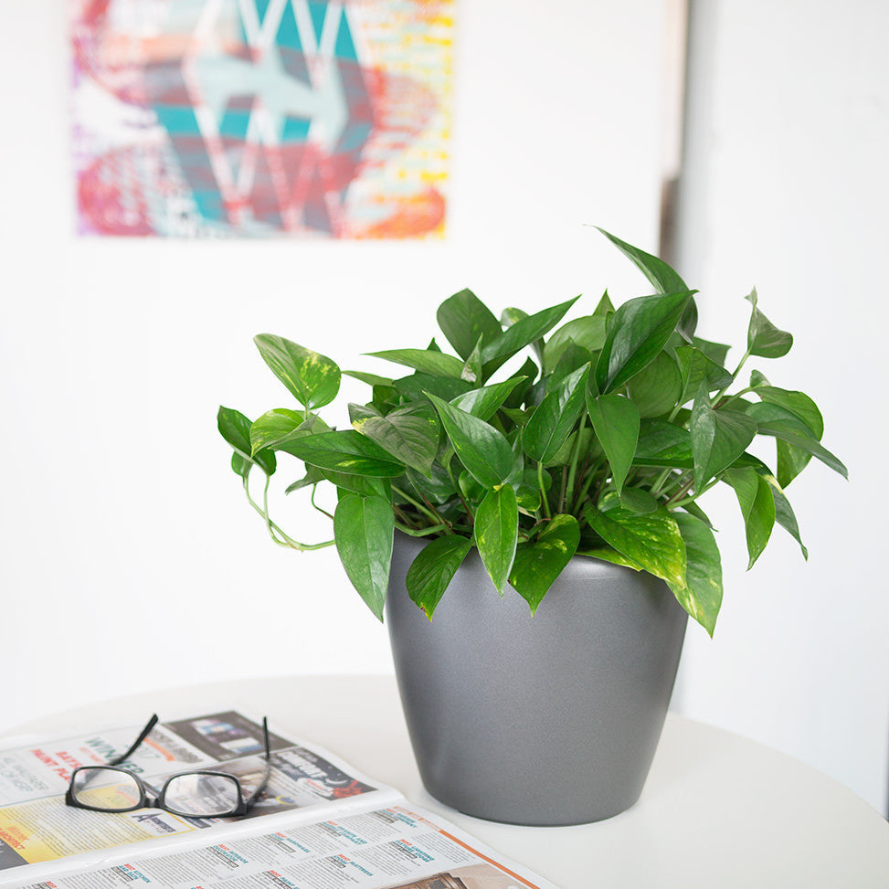 Pothos plant potted in Lechuza Classico charcoal metallic planter - My City Plants