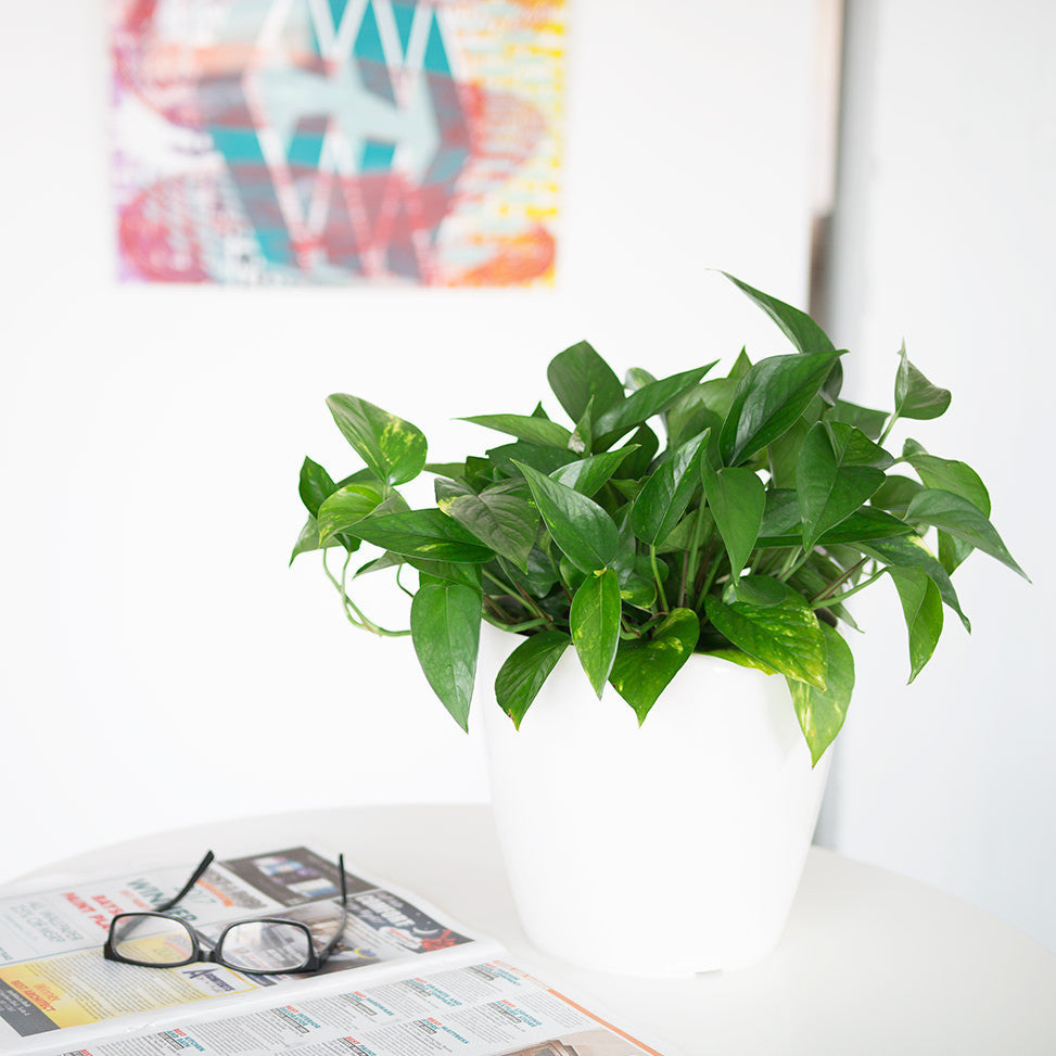 Pothos plant potted in Lechuza Classico white planter - My City Plants
