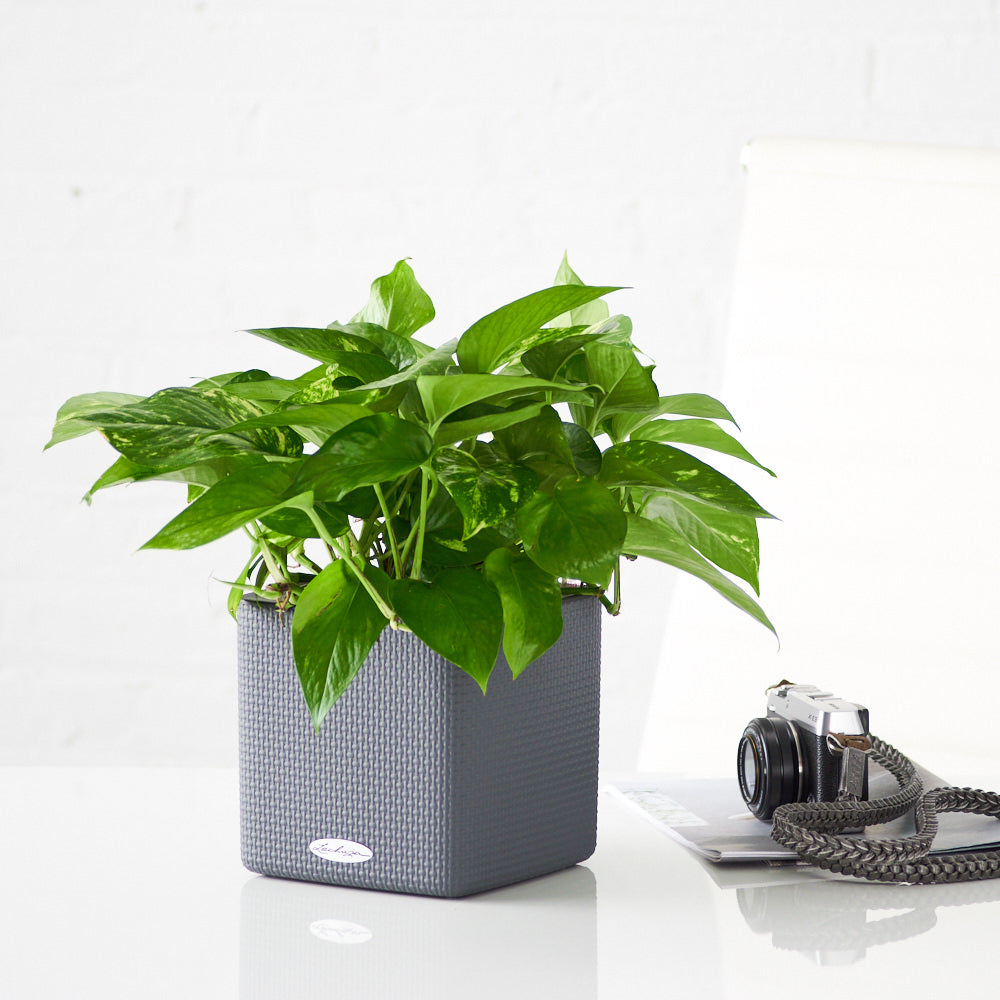 Pothos Plant In Lechuza Slate Cube Planters - My City Plants