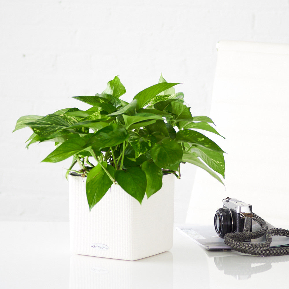 Pothos Plant In Lechuza White Cube Planters - My City Plants