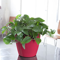 "Heart-leaf Philodendron - Heartleaf Philodendron Classico 11"" - My City Plants"