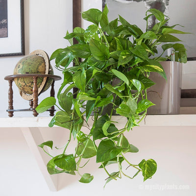 Cascading Pothos Plant Potted In Lechuza taupe Windowsill - My City Plants