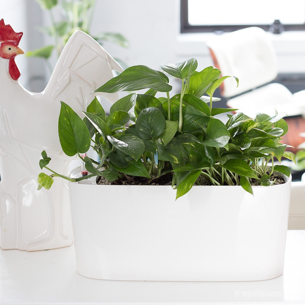 Pothos plant potted in Lechuza white windowsill planter - My City Plants
