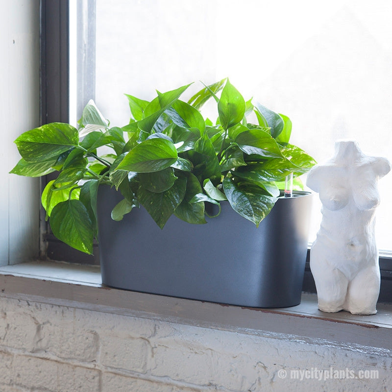 Pothos plant potted in Lechuza charcoal metallic windowsill planter - My City Plants