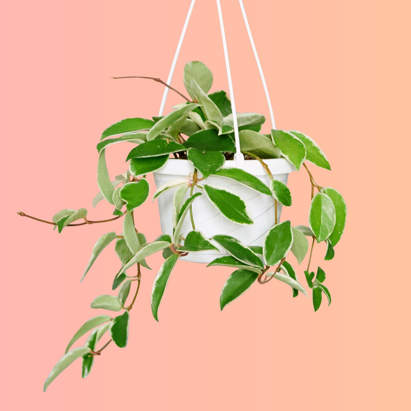 "Hoya In 6"" Nursery Hanging Basket 