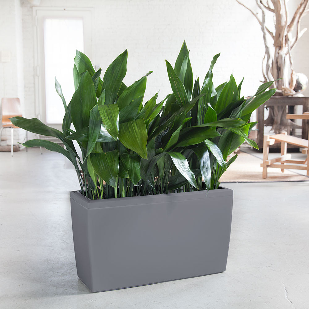 Iron Plant Potted In Lechuza Cararo Charcoal Planter - Shop Online - My City Plants