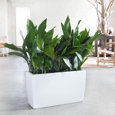 Iron Plant Potted In Lechuza Cararo White Planter - Shop Online - My City Plants