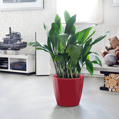 Cast Iron Plant Classico Red