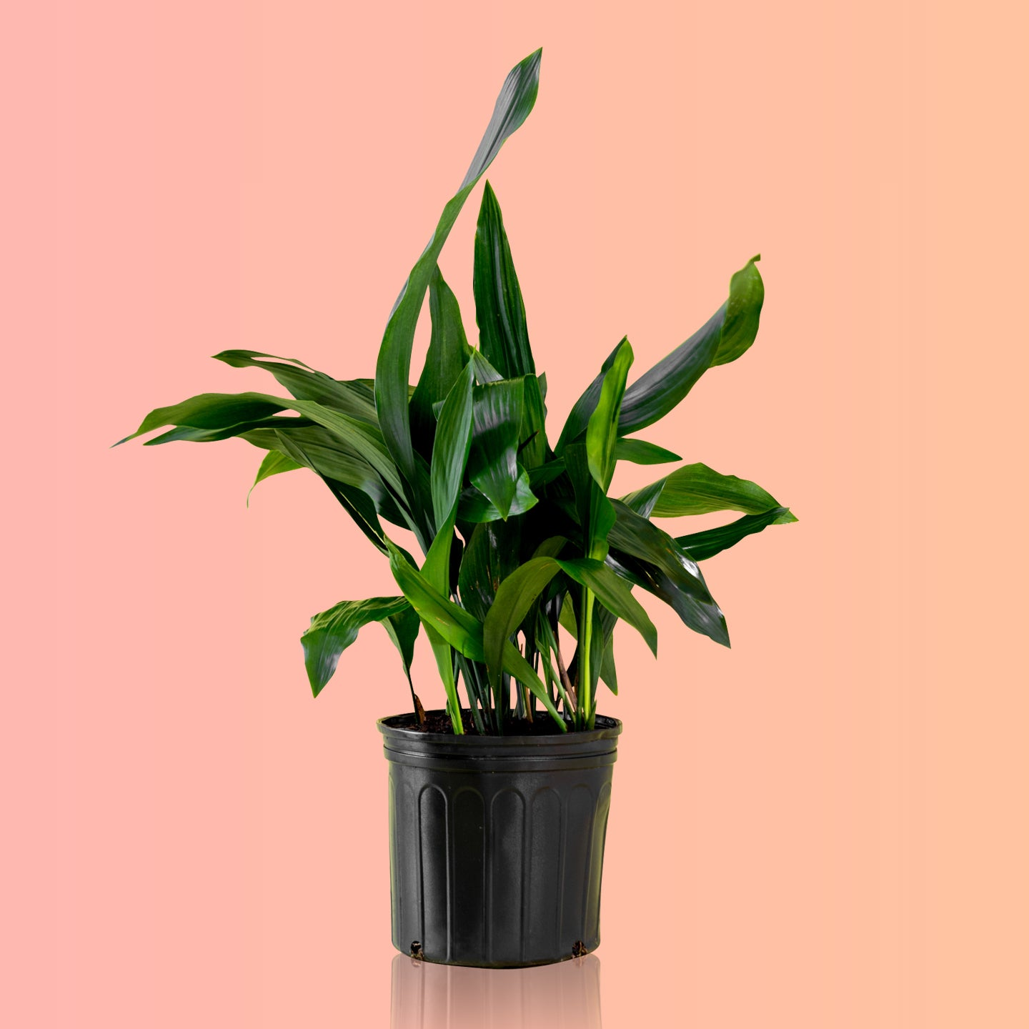 "Cast Iron Plant In 10"" Nursery Pot - Shop Online - My City Plants"