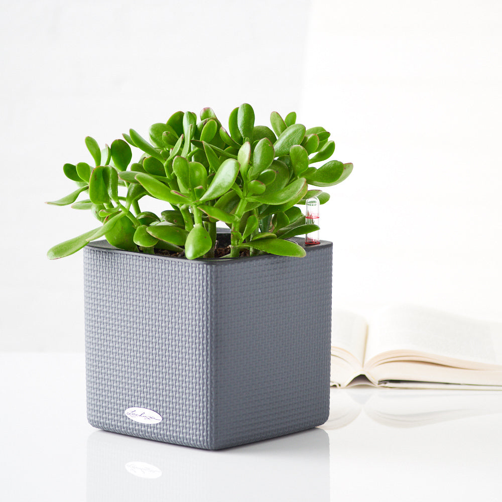 Jade Plant Placed In Lechuza Slate Cube Planters | My City Plants
