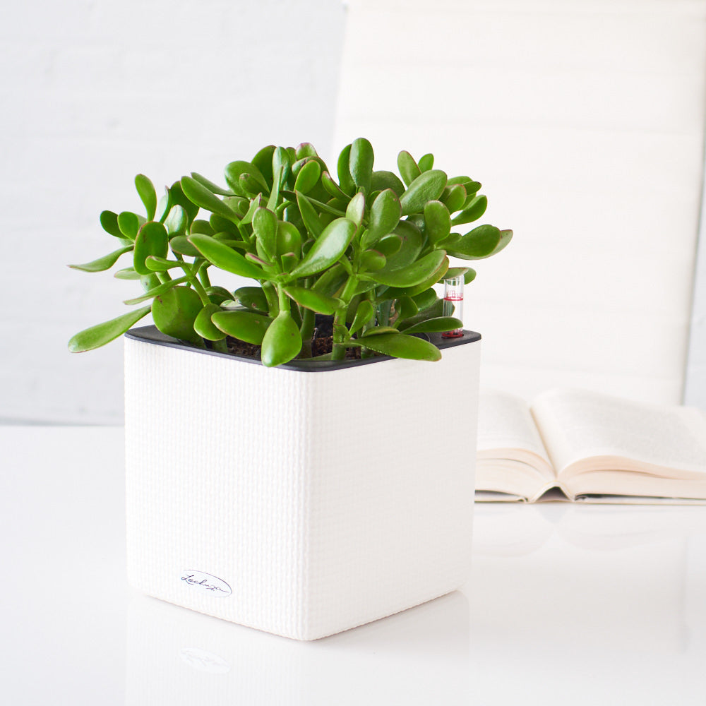 Jade Plant Placed In Lechuza White Cube Planters | My City Plants