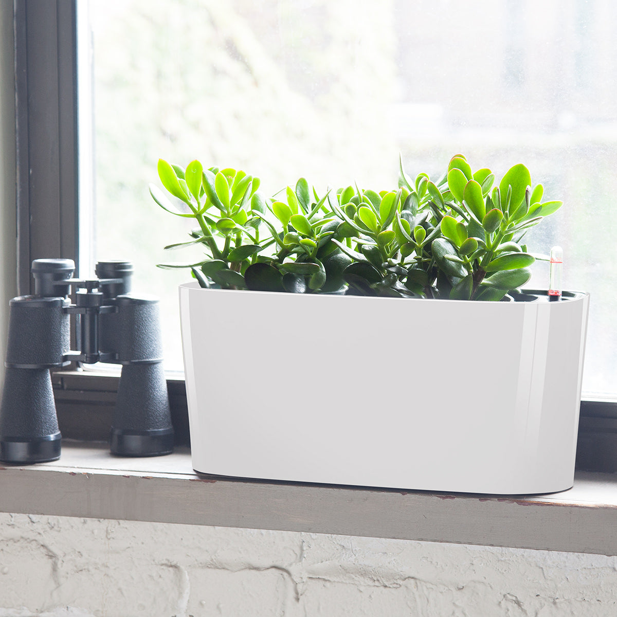 Jade plant potted in Lechuza windowsill planter