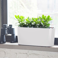Jade Plant Windowsill White