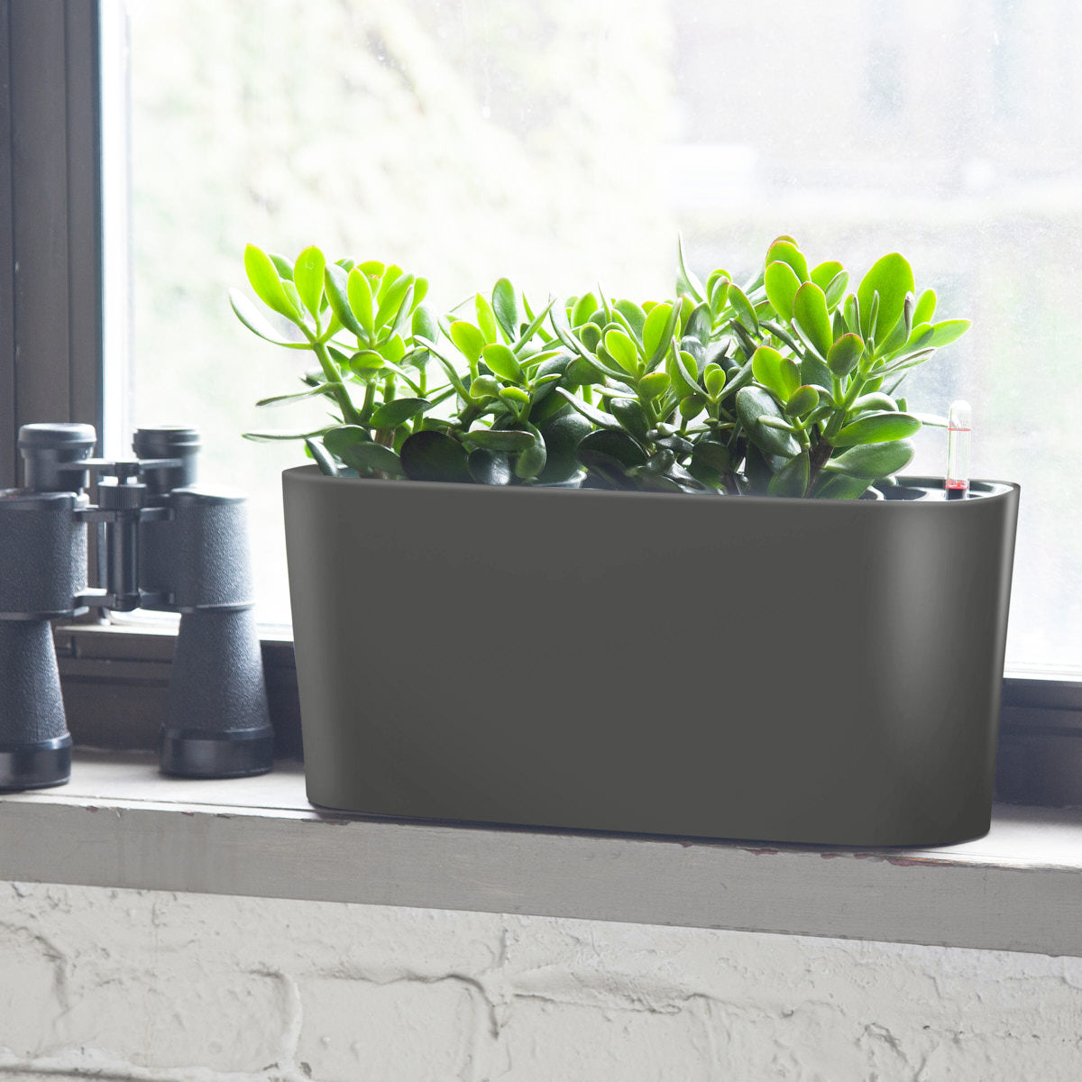 Jade Plant Windowsill Charcoal Metallic