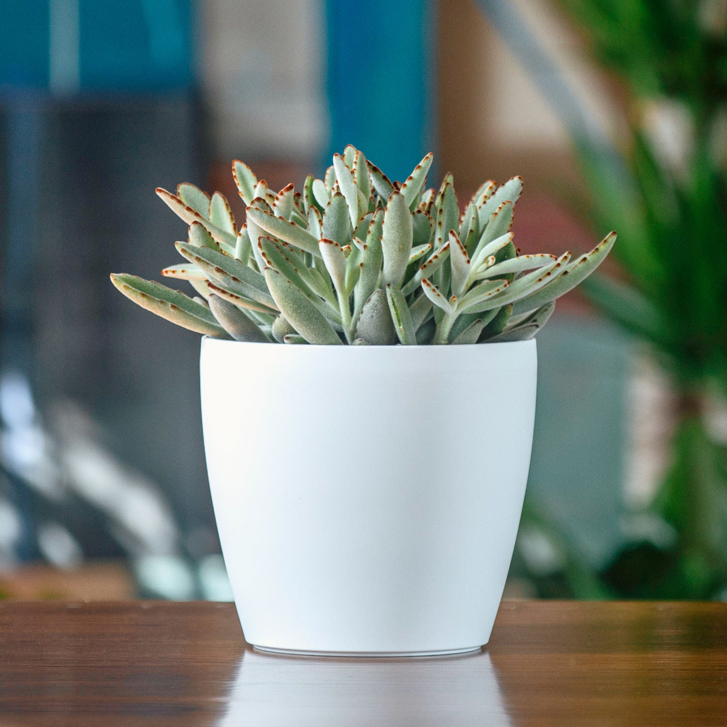 Kalanchoe Panda In Lechuza Classico Trend White Planter | My City Plants