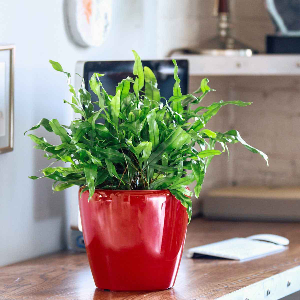 Kangaroo Paw fern potted in Lechuza Classico mini red planter - My City Plants