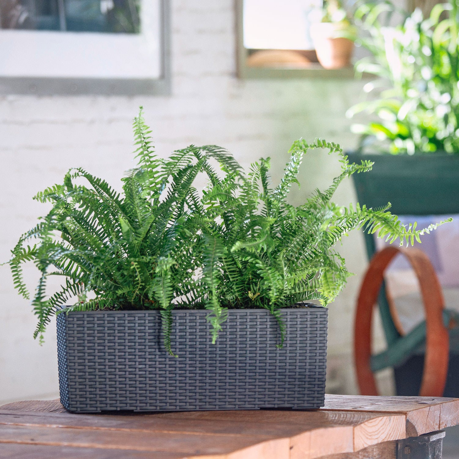 Kimberly Queen Fern potted in Lechuza Balconera Cottage granite planter - My City Plants
