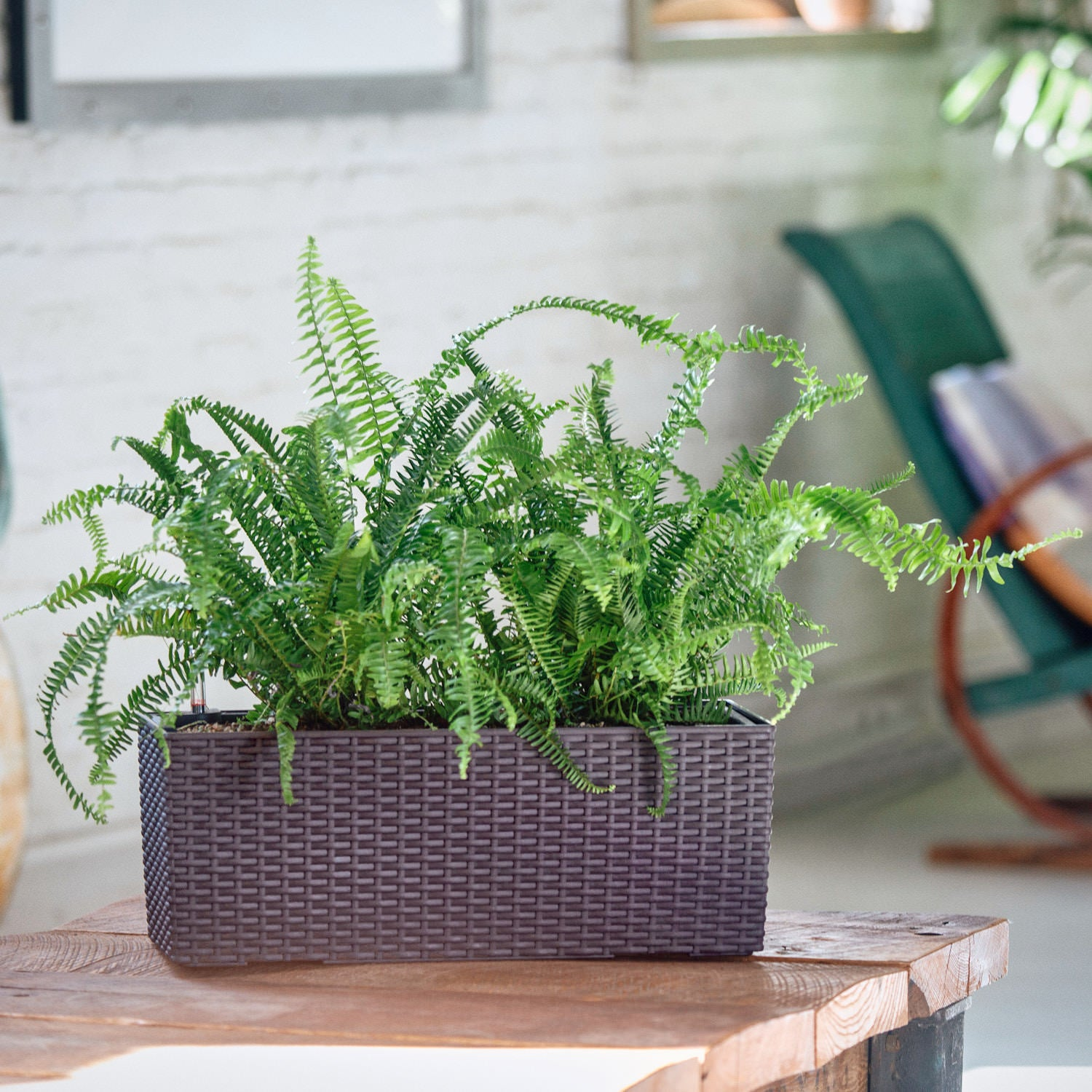 Kimberly Queen Fern potted in Lechuza Balconera Cottage mocha planter - My City Plants
