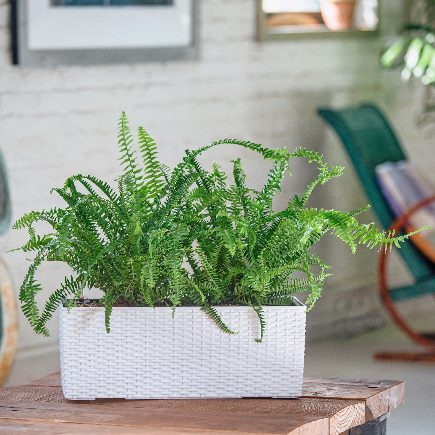 Kimberly Queen Fern potted in Lechuza Balconera Cottage white planter - My City Plants