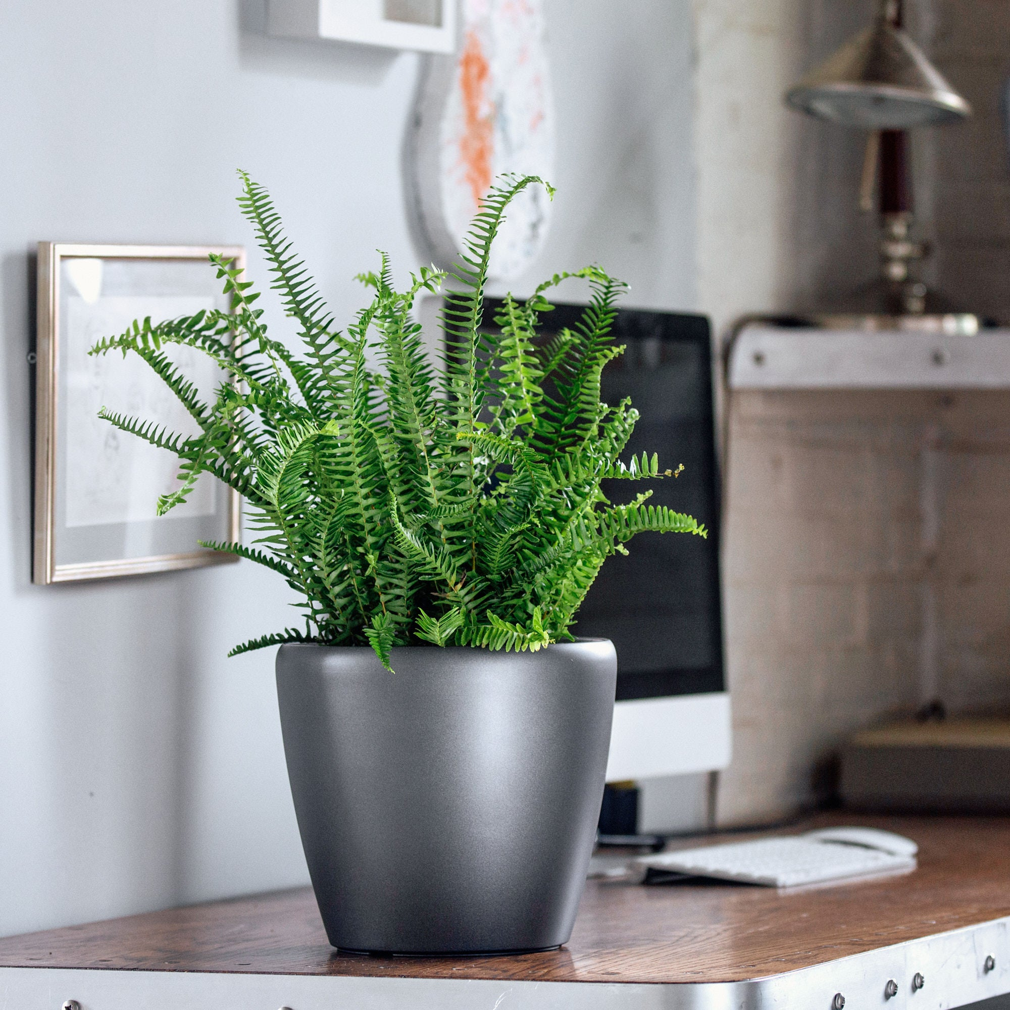 Kimberly Queen fern potted in Lechuza Classico mini charcoal metallic planter - My City Plants